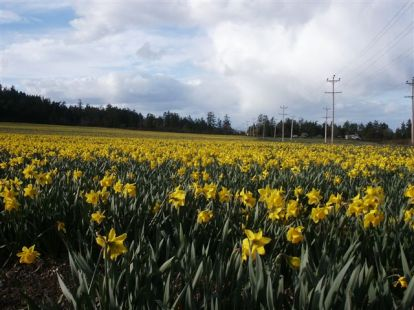 Daffodil fields in April