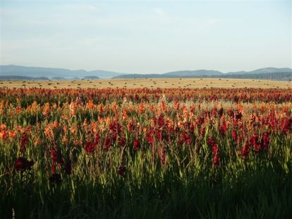 Gladiola fields in August